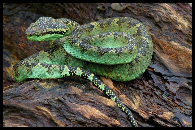 9 Most Dangerous snakes in India
