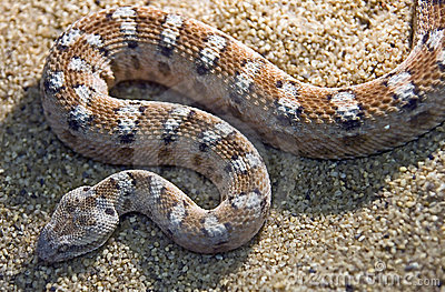 painted-saw-scaled-viper-1-10795106